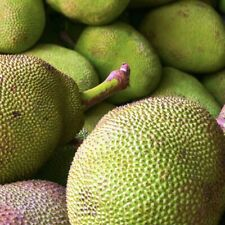 Jack fruit tropical fruit tree Rare exotic 1'-2'