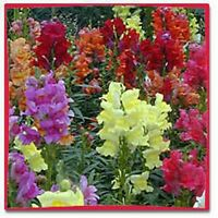 Snapdragon- Morrocan Mix- 100 Seeds- BOGO 50% off SALE