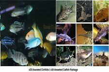 x25 AFRICAN CICHLID ASSORTED / x10 CATFISH ASSORTED - FRESHWATER LIVE - FREE SHI