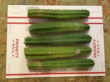 San Pedro Cactus - TRICHOCEREUS - FIVE- 12- INCH TIPS..BOUNCING BEAR STRAIN...
