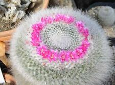 Old Lady Pincushion Cactus Seed Threatened Grows 9 cm High Ring of Flowers