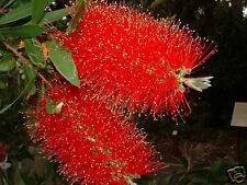 Crimson Bottlebrush Seeds  Frost Hardy Brilliant Colour