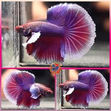 New listing Live Betta Fish Male Fancy Purple Red Lavender Dumbo Ears Halfmoon #E680