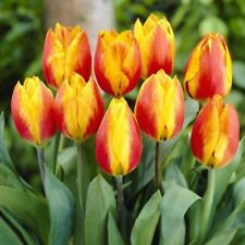 10 Tulip Flower Bulbs Red-Yellow Bi Colors Zones: 3-8 Spring Garden Perennial