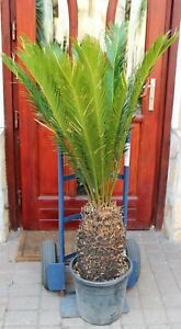 Cycas revoluta, 140cm, Gewurzelt!