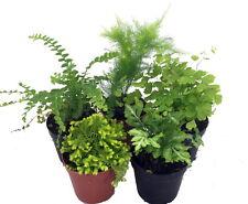 """Mini Ferns for Terrariums/Fairy Garden - 5 Different Plants-2"""" Pots"""