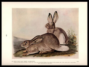 "White-Tailed Jackrabbit Drawing—John James Audubon—Book Print 8.75x11.75"""