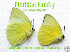 1x Catopsilia Pomona Pomona (m) form Hilaria -Cameron Highlands, Malaysia (9-11)