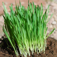400X Organic Wheatgrass Wheat Grass Seeds Great For Sprouting Pets Health#