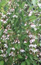 STYRAX japanese snowbell MARLEY'S PINK 2 GALLON LARGE PLANTS  4 FEET +