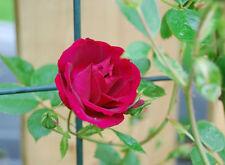 Heirloom 300 Climbing Rose Seeds Climber Fire Red Perennials Flower Seeds