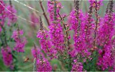 6 LYTHRUM 'ROSY GEM' - PURPLE LOOSESTRIFE MEDIUM PLUG PLANTS - HARDY PERENNIAL