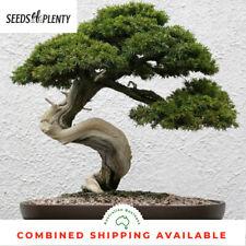 Common Juniper - Juniperus communis (20 Bonsai Seeds)