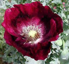 35+ Springer Grape Poppy Flower Seeds / Perennial Papaver Laurens
