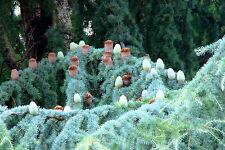 10 Cedrus atlantica SEMI SEEDS KORN SAMEN no bonsai