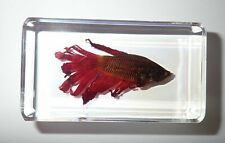 Red Siamese Fighting Fish in Clear Paperweight Education Specimen