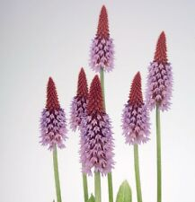 Primula - Vialii - 50 Seeds