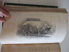 Concours d'animaux de boucherie  1860   Gravures planches animaux