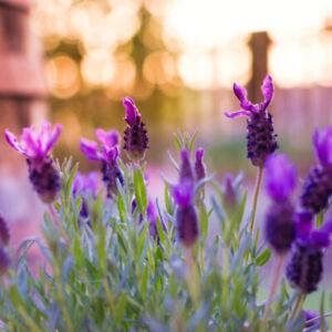Lavandula stoechas (French Lavender) 25 to 1000 Seeds | Garden Summer Flowers UK