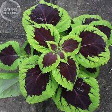Kong Lime Sprite Coleus Herb Seeds 20 Seeds Rare Perillas Green Black Big Petals
