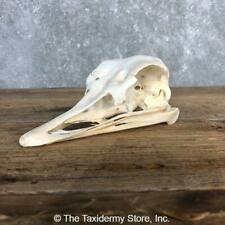 #20359 E+ | Ostrich Full Skull Taxidermy Mount For Sale