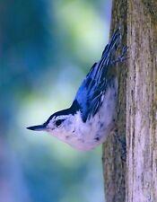 METAL FRIDGE MAGNET Nut Hatch Perched Vertically On Tree Blue White Bird Birds
