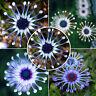 50Pcs Bag Rare Blue Daisy Plants Flower Seeds Exotic Ornamental Flower Decors H7
