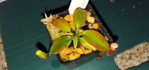 Nepenthes Rajah BE-3152- Carnivorous Pitcher plant-US only