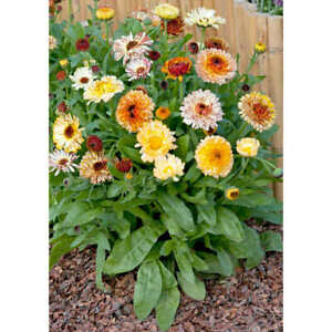 20 CALENDULAR Playtime Mixed SEEDS Hardy Annual Yellow Blush Flower Fast Depatch