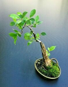 Ficus microcarpa, retusa, Live Shohin Fig, Slanted, Thick trunk collected Bonsai