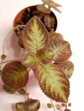 """African Violet Episcia Noid- Starter Plant in 3"""" pot"""