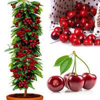 WR_ 20Pcs Cherry Seeds Sweet Organic Non-GMO Edible Fruit Dwarf Bonsai Garden De