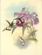 VINTAGE WHITE TAILED EMERALD HUMMINGBIRD BIRD NECTAR ORCHID FLOWERS CARD PRINT