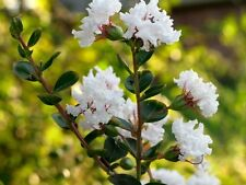 White CREPE MYRTLE Crape Tree Shrub Lagerstroemia Flower (Pack of 5 Nos.) T-082