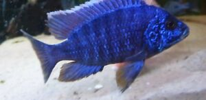 10X Assorted African Malawi Peacock Cichlids for Tropical Freshwater Tank