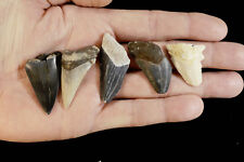 "Shark Tooth Fossils 1""-2"" 5 Teeth Rough Natural Minerals Rocks Display Specimen"