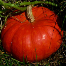 Seeds Rare Pumpkin Kavbuz Red Giant Vegetable Organic Heirloom Russian Ukraine