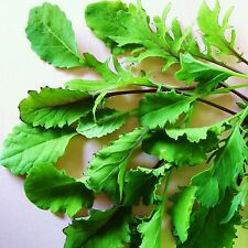MESCLUN - CURLY KALE MIX - 1200 Seeds [..healthy 'SUPERFOOD' baby salad leaves!]