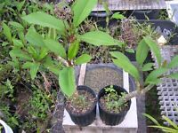 """Rooted Triple (3) Tip Nice Healthy Mystery  Plumeria Rooted Cuttings 8-12"""" +"""