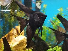 2 Fully Grown Black VEIL Angel Fish Fresh Water Live AngelFish Large 7 Inches