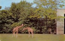Brookfield Illinois~Zoo~Giraffes~1954 Postcard
