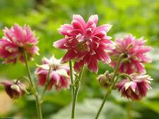 NORA BARLOW - COLUMBINE PINK - Aquilegia Vulgaris - 300 seeds - RARE FLOWER