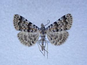 Idia calvaria  Noctuidae from Turkey
