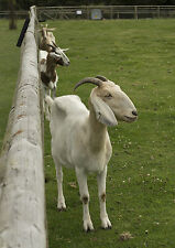A3 3 Goats and Fence Margam Park Wales Photographic Epson Print only (Unframed)