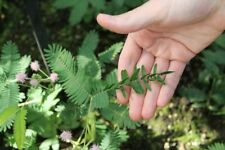 Mimosa Pudica/ Sensitive Plant/ Touch Me Not/ Shy plant- 30+ Seeds (For 2020)