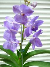 "Vanda,"" Sansai Blue "", South Florida Grown"