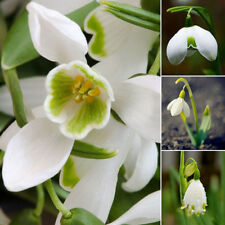 200PCS SNOWDROP GALANTHUS SEEDS AUTUMN BULBS GROWING GARDEN SPRING FLOWER NICE