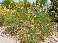 Mexican Yellow Bird (caesaipinia mexicana) YeLlow Flowers Drought Tolerant Easy