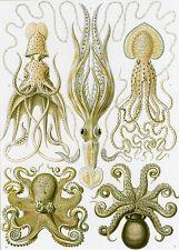 Art Forms in Nature: Ernst Haeckel: Gamochonia - Fine Art Print