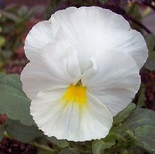 25 graines de Pensée Géante Blanche( Viola wittrockiana) X07 WHITE PANSY SEEDS